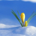 Flowers Coming Up Through The Snow --- Image by © Ocean/Corbis